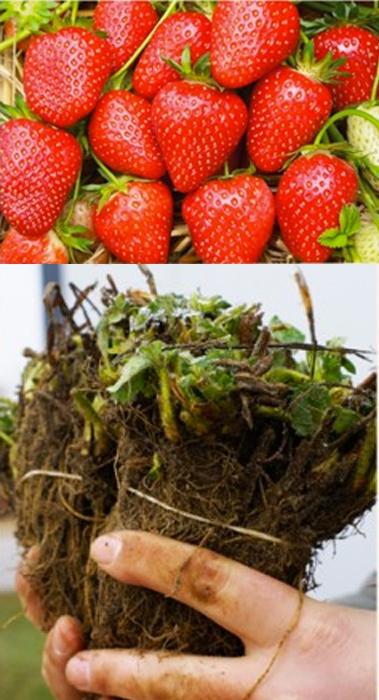 """Frigo Erdbeerpflanze Sorte """"Malwina"""" 25 Stück (VORBESTELLUNG/LIEFERUNG ENDE APRIL)"""