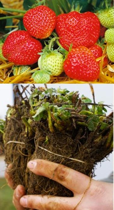 """Frigo Erdbeerpflanze Sorte """"Honeoye"""" 25 Stück (VORBESTELLUNG/LIEFERUNG ENDE APRIL)"""